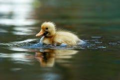 gullig duckling Arkivfoto
