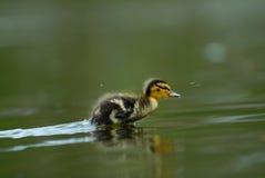 gullig duckling Royaltyfria Bilder