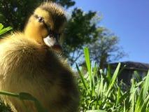 gullig duckling Fotografering för Bildbyråer
