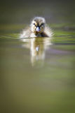 gullig duckling little Royaltyfri Bild
