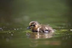gullig duckling little Fotografering för Bildbyråer