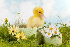 Gullig easter duckling Arkivfoton