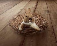 Gullig easter kanin inom redet Royaltyfri Fotografi