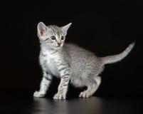 Gullig egyptier Mau Little Kitten royaltyfria bilder