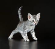 Gullig egyptier Mau Little Kitten royaltyfri foto