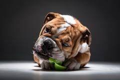 Gullig engelsk bulldoggvalp Arkivfoton