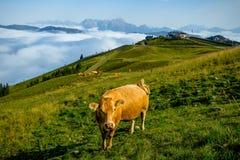 Gullig ensam ko på en äng som förbiser de höga alpina maxima arkivfoton