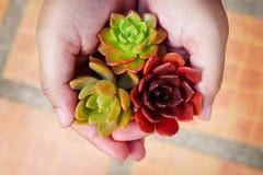Gullig färgrik suckulent växt för bästa sikt i kvinnahänder royaltyfria foton