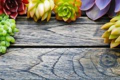 Gullig färgrik suckulent växt för bästa sikt med kopieringsutrymme för text royaltyfria foton
