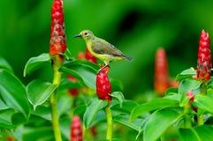 Sunbird. Fotografering för Bildbyråer