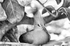 Gullig fågel med den röda näbb, den grönaktiga tofsen och fjädrar royaltyfri fotografi