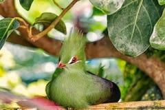 Gullig fågel med den röda näbb, den grönaktiga tofsen och fjädrar arkivbild