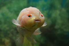 Gullig fisk Royaltyfri Fotografi