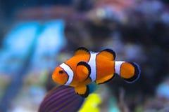 Gullig fisk i akvariet arkivbilder