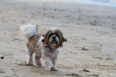Gullig fluffig hundspring på stranden arkivbilder