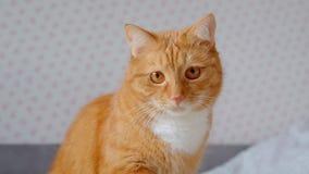 Gullig fluffig ljust r?dbrun katt som sitter p? s?ng och h?ller ?gonen p? att fokuseras och intresseras fast hemma arkivfilmer