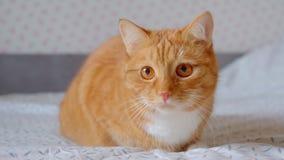 Gullig fluffig ljust r?dbrun katt som sitter p? s?ng och h?ller ?gonen p? fast att fokuseras och hopp skarpt lager videofilmer