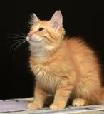 Gullig fluffig ljust rödbrun kattunge royaltyfri bild