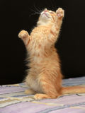 Gullig fluffig ljust rödbrun kattunge royaltyfri foto