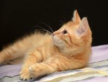 Gullig fluffig ljust rödbrun kattunge arkivbild