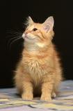 Gullig fluffig ljust rödbrun kattunge royaltyfri fotografi