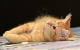 Gullig fluffig ljust rödbrun kattunge royaltyfria bilder