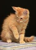 Gullig fluffig ljust rödbrun kattunge fotografering för bildbyråer