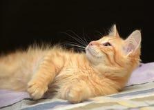 Gullig fluffig ljust rödbrun kattunge royaltyfria foton