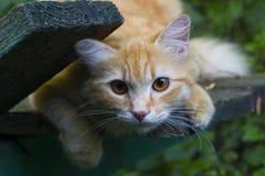 Gullig fluffig orange katt arkivbilder