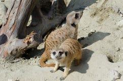 Gullig framsida av en brun djur meerkat Arkivbild