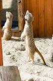 Gullig framsida av en brun djur meerkat Arkivbilder