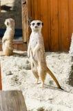 Gullig framsida av en brun djur meerkat Fotografering för Bildbyråer