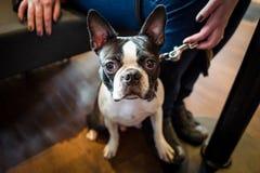 Gullig fransk bulldogg i ett kafé arkivfoton