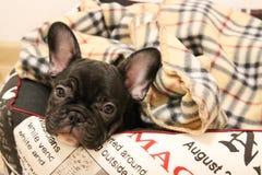 gullig fransman för bulldogg Arkivbild