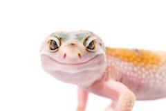 Gullig geckomakrostående Arkivfoto