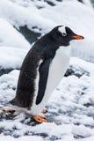 Gullig gentoopingvin på den insnöade Antarktis Royaltyfri Fotografi