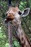 Gullig giraff Arkivfoton