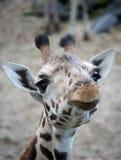 gullig giraff arkivbild