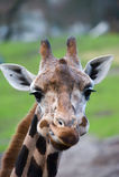 gullig giraff royaltyfria foton