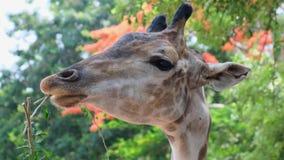 Gullig giraff som g?r misstrogna framsidor, medan tugga mat Begreppet av djur stock video
