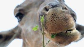 Gullig giraff som g?r misstrogna framsidor, medan tugga mat Begreppet av djur i zoo stock video