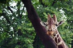 Gullig girrafe i zoo Arkivfoton