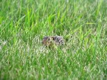 Gullig goffer döljer i gräs Royaltyfri Fotografi