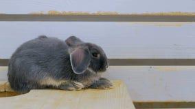 gullig grå kanin Royaltyfri Bild