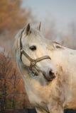 Gullig grå ponnystående i paddocken royaltyfria foton