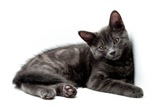 gullig grå kattunge Royaltyfri Foto