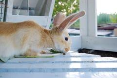Gullig gul kanin royaltyfri bild