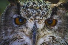 Gullig härlig uggla med intensiva ögon och härlig fjäderdräkt Royaltyfria Bilder