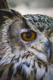 Gullig härlig uggla med intensiva ögon och härlig fjäderdräkt Arkivbilder