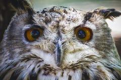 Gullig härlig uggla med intensiva ögon och härlig fjäderdräkt Arkivfoton